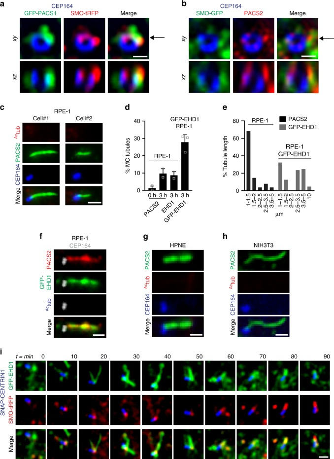 PACSIN and EHD proteins co-localize on dynamic MC-tubules during ciliogenesis. a Representative N-SIM images of SMO-tRFP cells transiently expressing GFP-PACSIN1, serum starved for 3 h, and stained with CEP164 antibody. b Representative N-SIM images of SMO-GFP cells serum starved for 3 h and stained with CEP164 and PACSIN2 antibodies. The xz images (bottom panels) in a and b show orthogonal views at the position of the arrow indicated in the xy plane (top panels). Scale bars: 500 nm. c Representative images of RPE-1 cells serum starved for 3 h and stained with CEP164, Ac tub and PACSIN2 antibodies. Images were taken by epifluorescence microscopy using a 63× objective. Maximum intensity projections of deconvolved z-stacks are shown. d Quantification of PACSIN2, EHD1, or GFP-EHD1-positive MC tubules in RPE-1 cells, serum starved at 0 and 3 h and stained with PACSIN2, EHD1 antibodies, or observed in GFP-EHD1 cells imaged as in c (PACS2 0 h = 79, PACS2 3 h = 140, EHD1 = 67 cells, pooled from n = 2; GFP-EHD1 = 100 cells, pooled from n = 3). Means ± SD. e Graph representing the length of PACSIN2 and GFP-EHD1-positive tubules in cells treated as in ( c ) (25 tubules per condition). f GFP-EHD1 cells serum starved for 3 h, stained with PACSIN2, Ac tub (Alexa 305 nm), and CEP164 (Alexa 647) antibodies, and imaged by epifluorescence microscopy using a 63× objective. Z-stack images were deconvolved and a single xy plane is shown. Note the co-localization of PACSIN2 and GFP-EHD1 in MC-associated tubules (25 cells). g , h HPNE ( g ) and NIH3T3 ( h ) cells serum starved for 3–6 h and stained with antibodies for PACSIN2, CEP164, and Ac tub. Images were taken with a 100× objective and are maximum intensity projections of deconvolved z-stacks. i Triple line starved for 3 h, labeled with 300 nM SNAP-Cell647-SiR substrate for the last hour, washed, and imaged live every 10 min. Images are single xy planes (15 cells). Scale bars: 1 μm for ( c , f – i )