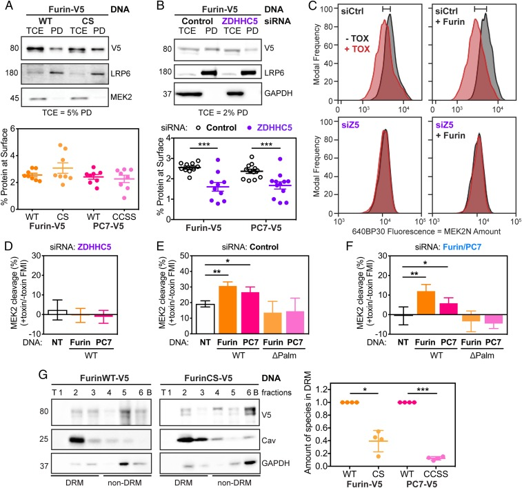 Palmitoylation-deficient mutants of Furin and PC7 are not active in cleaving anthrax toxin because they do not preferentially reside in microdomains. ( A ) RPE-1 cells were transfected with WT or palmitoylation-deficient mutants of Furin (shown) or PC7 (in SI Appendix , Fig. S5 A ). The cells were biotinylated for 30 min and then quenched, washed, and lysed. The surface fraction was pulled down using streptavidin beads. SDS/PAGE was performed on TCE and pull-down (PD) fractions with the percent of TCE shown. Statistics : unpaired two-tailed t test. ( B ) As in A , RPE-1 cells were transfected with V5-tagged Furin (shown) or PC7 (shown in SI Appendix , Fig. S5 B ) after being silenced for ZDHHC5 or not (Control). Then, the surface proteins were labeled with biotin and isolated. Statistics : unpaired two-tailed t test. ( C ) Analytical flow cytometry was performed as described in Fig. 1 but with Furin overexpression (using an antibody against V5 to select for transfected cells) or not in cells silenced for Control (Ctrl) or ZDHHC5 (Z5). The shift in MEK cleavage between no toxin (−TOX, black) and toxin (+TOX, red) is noted by the bar on top of the graph. Quantification of recomplementation flow cytometry peaks as in C with overexpression of both Furin and PC7, WT or palmitoylation-deficient mutants (ΔPalm), in ZDHHC5- ( D ), Control- ( E ), and F/PC7- ( F ) silenced cells. Statistics : paired two-tailed t test on the original data. ( G ) OptiPrep ultracentrifugation gradients were used to probe presence of Furin, WT or CS mutant in DRMs. Representative blot with DRM control (caveolin 1) and non-DRM control (GAPDH) for Furin (shown) or PC7 (shown in SI Appendix , Fig. S5 G ). Statistics : ratio paired two-tailed t test on the original data. * P
