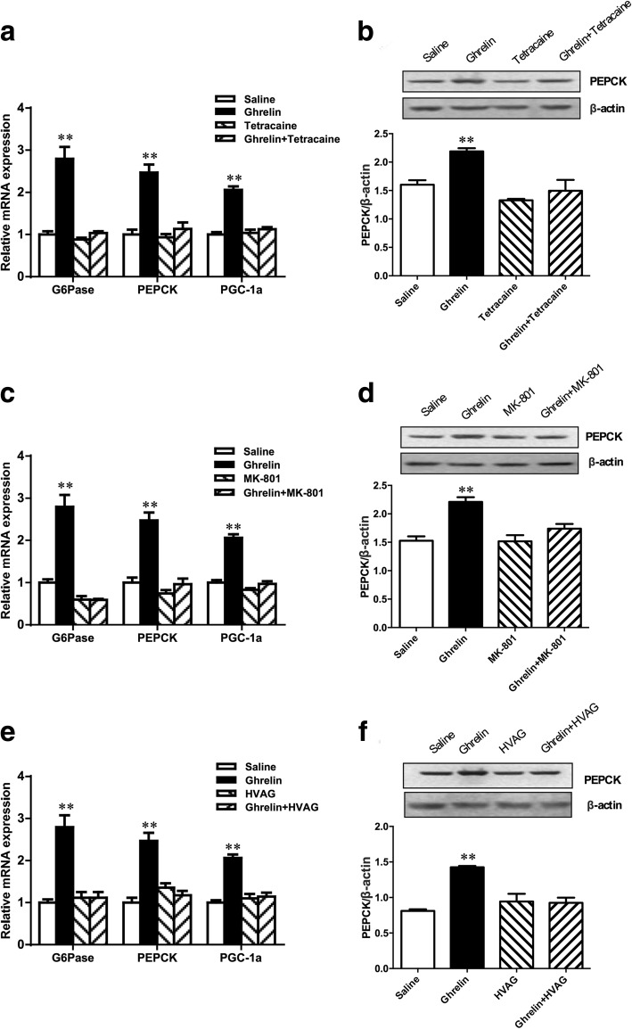 Duodenal ghrelin increases hepatic PEPCK, G6Pase and PGC-1α expression through a gut-brain-liver neurocircuitry. Intraduodenal ghrelin infusion in rats increased hepatic PEPCK, G6Pase and PGC-1α mRNA expression ( a ) and PEPCK protein expression ( b ). Rats that received tetracaine ( a and b ), MK-801 in the NTS ( c and d ) or HVAG ( e and f ) failed to respond to duodenal ghrelin to increase hepatic PEPCK, G6Pase and PGC-1α expression. NTS, nucleus of the solitary tract; HVAG, hepatic vagotomy. Values are shown as mean ± SEM. ** P