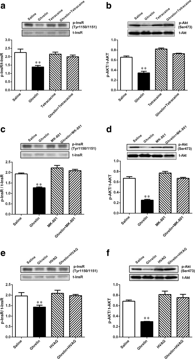 Gut ghrelin attenuated hepatic insulin signaling through a gut-brain- liver neurocircuitry. Intraduodenal ghrelin infusion decreased the phosphorylation of InsR ( a ) and AKT ( b ) in the liver of rats. Rats that received tetracaine ( a and b ), MK-801 in the NTS ( c and d ) or HVAG ( e and f ) failed to respond to duodenal ghrelin to decrease the phosphorylation of InsR (Tyr 1150/1151) and AKT (Ser473) in the liver of rats. InsR, insulin receptor; AKT, protein kinase B; NTS, nucleus of the solitary tract; HVAG, hepatic vagotomy. Values are shown as mean ± SEM. ** P