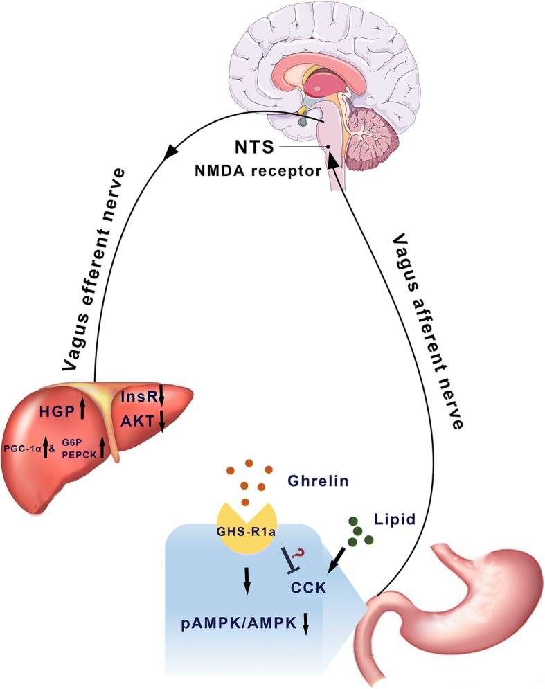 A schematic model showing the effects of duodenal ghrelin on hepatic glucose fluxes and insulin signals. Ghrelin binds to its receptor, GHS-R1a, on the duodenum and inhibits mucosal AMPK. This signal is delivered to the NTS by vagus afferent nerve and activates the neurons in hindbrain region and NMDA receptors. Finally, the signal is relayed from the NTS to the liver via the efferent branch of the vagal nerve to increase HGP and inhibit insulin signal