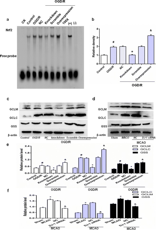 DJ-1 regulates Nrf2/ARE binding activity and Nrf2/ARE-driven gene expression. After OGD for 5 h followed by 24 h of reoxygenation, astrocytes were harvested. And after 24 h of reperfusion, brains were collected. a EMSA analysis of Nrf2/ARE binding. b Semiquantitative analysis of Nrf2/ARE binding. CK, 100x, (+) and (−) indicate controls. c Western blot for GCLM, GCLC, and GSS in astrocytes. d Western blot for GCLM, GCLC, and GSS in rats. e , f Ratios of GCLM, GCLC, and GSS relative to β-actin in astrocytes and in rats, respectively. Values are mean ± SEM. # p