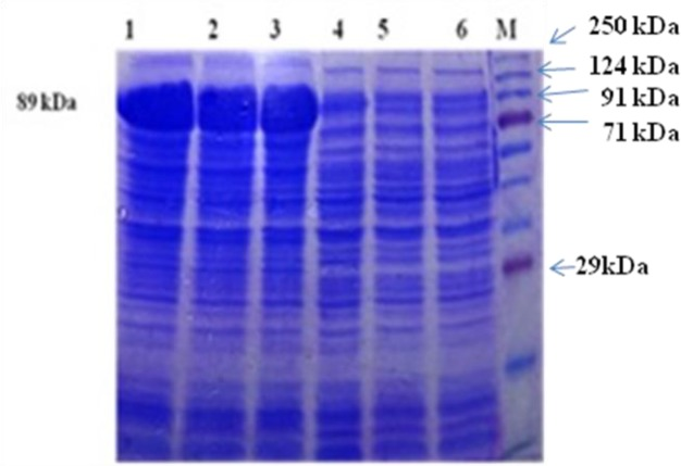 rPFR1 protein production by <t>rec.BL21</t> <t>DE3</t> E.coli cells by SDS-PAGE Lane M: Prestained protein ladder (Puregene, Genetix, PG-PMT 2922) Lane 1: 4h post induction Lane 2: 6h post induction Lane 3: 8h post induction Lanes 4–6: Uninduced control