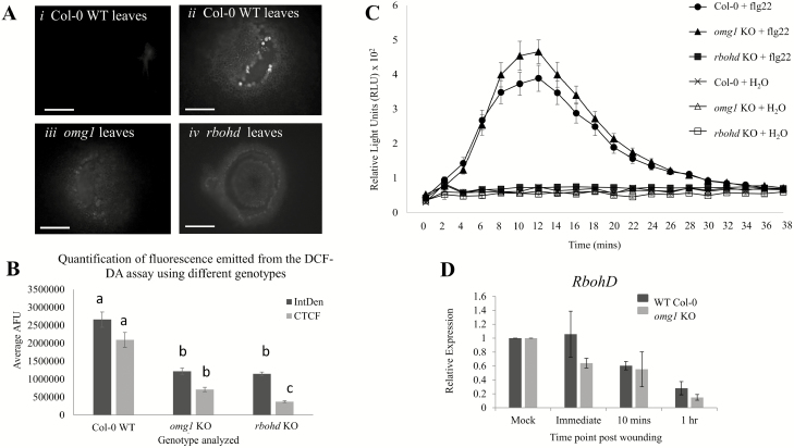 Reactive oxygen species (ROS) accumulation upon wounding and flg22 induction is altered in omg1 leaves compared to Col-0 leaves. (A and B) DCF-DA ROS assay performed on wounded leaf tissues reveals that OMG1 affects cellular ROS production. (A) DCF-DA is a fluorogenic dye that measures hydroxyl, peroxyl and other ROS activity within the cell. A pipette tip was used to wound the surface of the leaves from the WT line, omg1 KO line and rbohd KO line (a known ROS-deficient mutant). Upon wounding, ROS is usually produced around the site of injury. The DCF-DA reagent is then oxidized by ROS resulting in appearance of green fluorescence. Plants were wounded and immediately placed in the DCF-DA solution for 20 min before visualized on the light microscope. (i) WT Col-0 leaves without wounding, (ii) WT Col-0 leaves, (iii) omg1 leaves and (iv) rbohd leaves were placed in DCF-DA solution immediately after wounding. In the WT plants green fluorescence around the wound site indicates the production of ROS. However, in the omg1 KO line and the rbohd KO line, ROS production was not detected. Images were taken on the Olympus <t>BX51</t> compound scope at 10× magnification, exposure time 55 ms. Scale bars: 100 µm. (B) Quantification of fluorescence was performed using integrated density (IntDen) and corrected total cell fluorescence (CTCF) [CTCF = Integrated density − (Area of selected cell × Mean fluorescence of background readings)] in ImageJ. Statistical analyses were performed using Student's t -test, bar graphs with different letters show significant difference ( P