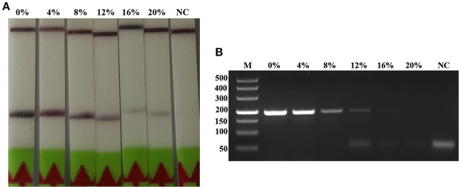 Effects of inhibitors on the performance of the LF-RPA assay and conventional PCR assay for detecting the DNA from T. spiralis . Different percentage of muscle penetrating fluid in the reaction mixture were evaluated using LF-RPA assay (A) and conventional PCR assay (B) . LF-RPA assay performed better than conventional PCR assay in the presence of potential inhibitors of the amplification reaction. NC, Negative Control.