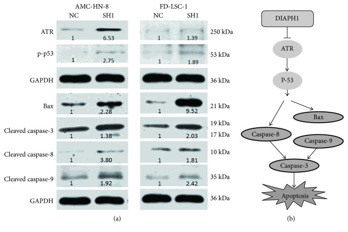 DIAPH1 knockdown promoted apoptosis via ATR/p53/caspase-3 signaling pathway. (a) Western blot analysis of ATR, p-p53, Bax, and cleaved caspase-3, -8, and -9 in DIAPH1 knockdown (SH1) and control (NC) of AMC-HN-8 and FD-LSC-1 cells. Numbers labelled under the bands were the relative expression and the relative expression of NC cells was set as 1. (b) The schematic graph of apoptotic signaling pathway mediated by DIAPH1.