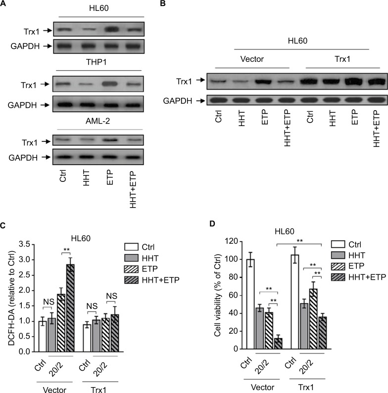 HHT causes elevated ROS generation by disabling thioredoxin-mediated antioxidant defense. Notes: ( A ) HL60, THP1, and primary AML cells (AML-2) were treated with vehicle control (Ctrl), HHT, ETP, or in combination as indicated for 48 hours. The protein expression of Trx1 was determined by Western blot. GAPDH was used as a loading control. The representative images (left) and the quantification of band intensity (right) are shown. ( B – D ) HL60 cells stably overexpressing vector or Trx1 were treated as in ( A ). ( B ) The protein expression of Trx1 was determined by Western blot. GAPDH was used as a loading control. The representative images (upper) and the quantification of band intensity (lower) are shown. ( C ) The intracellular ROS level was detected by flow cytometry analysis using DCFH-DA. Results relative to Ctrl are shown. ( D ) Cell viability was determined via trypan blue exclusion assay. Results relative to Ctrl are shown (%). Data were obtained from at least three independent experiments and analyzed by Student's t -test. Data are expressed as mean ± SD. ** P