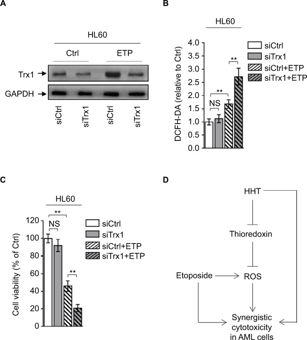 Depletion of thioredoxin sensitizes AML to ETP treatment. Notes: ( A – C ) HL60 cells transfected with siCtrl or siTrx1 were treated with vehicle control (Ctrl) or 2 µM ETP for 48 hours. ( A ) The protein expression of Trx1 was determined by Western blot. GAPDH was used as a loading control. The representative images (left) and the quantification of band intensity (right) are shown. ( B ) The intracellular ROS level was detected by flow cytometry analysis using DCFH-DA. Results relative to Ctrl are shown. ( C ) Cell viability was determined via trypan blue exclusion assay. Results relative to Ctrl are shown (%). Data were obtained from at least three independent experiments and analyzed by Student's t -test. Data are presented as mean ± SD. ** P
