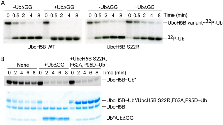 Ub B stimulates cIAP1R-catalyzed Ub transfer. A , nonreduced autoradiograms of lysine discharge reactions showing the disappearance of UbcH5B variant∼ 32 P-Ub over time in the presence and absence of UbΔGG (300 μ m ) catalyzed by cIAP1R. B , nonreduced SDS-PAGE showing the cIAP1R-mediated discharge of <t>fluorescently</t> labeled UbcH5B∼Ub to l -lysine over time in the presence of UbΔGG (20 μ m ) or UbcH5B S22R,F62A,P95D–Ub (20 μ m ) visualized with a <t>LI-COR</t> Odyssey scanner ( top ) followed by staining with InstantBlue ( bottom ). *, fluorescently labeled Ub.