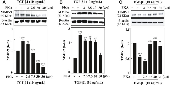 FKA  down‐regulates  MMP ‐9/‐2 and up‐regulates  TIMP ‐1 expressions in  TGF ‐β1‐activated A7r5 cells. A‐C, Cells were preincubated with  FKA  (2‐30μM) for 2h and then stimulated with or without  TGF ‐β1 (10ng/ mL ) for 24h. Western blotting was performed to analyse (A)  MMP ‐9, (B)  MMP ‐2 and (C)  TIMP ‐1 protein levels. Relative changes in protein intensities were quantified using AlphaEaseFc 4.0 software and presented as histograms, with controls set as onefold. The results are presented as the mean± SD  of three assays. Significant at *** p