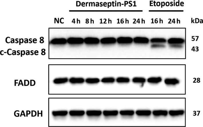 The examinations of extrinsic apoptotic cascade mediated by Dermaseptin‐PS1 in U‐251 MG cells. Protein expression of caspase 8/cleaved caspase 8 and FADD were analysed by Western blot in U‐251 MG cells treated for 4‐24 h with 10 −6 M Dermaseptin‐PS1 or 16‐24 h with 20 μmol/L etoposide. The detection of GAPDH protein was used as an internal control
