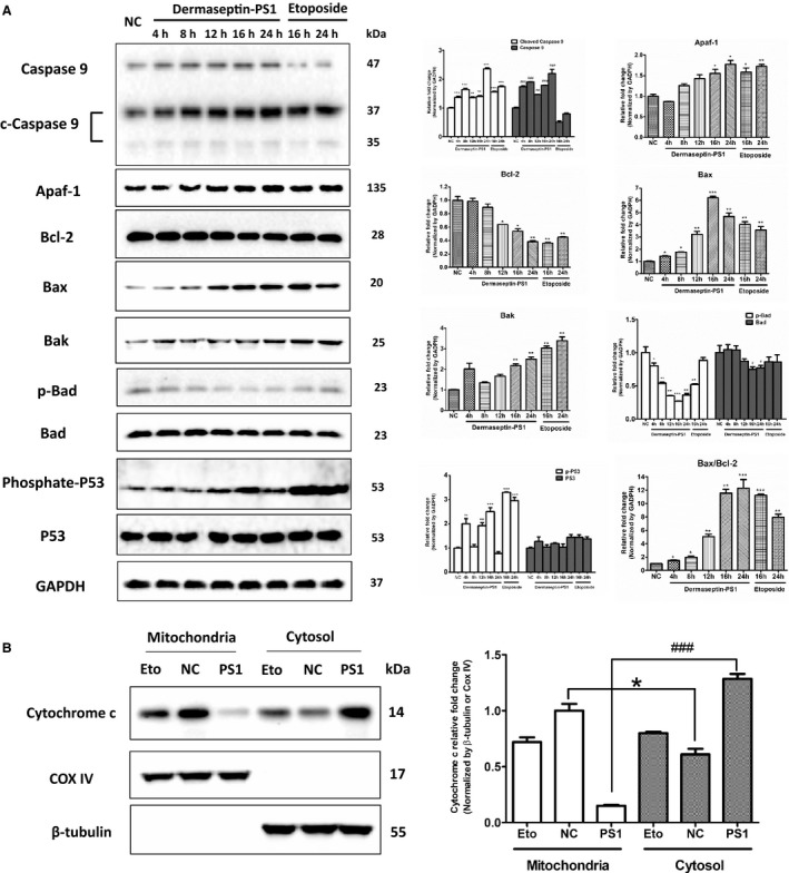 Dermaseptin‐PS1 induced U‐251 MG cell death through intrinsic apoptosis signalling. A, Protein expression of caspase 9/cleaved caspase 9, Apaf‐1, Bcl‐2, Bax, Bak, p‐Bad, Bad, p‐p53 and p53 were analysed by Western blot in U‐251 MG cells treated for 4‐24 h with 10 −6 M Dermaseptin‐PS1 or 16‐24 h with 20 μmol/L etoposide. The detection of GAPDH protein was used as an internal control. The signal intensity was quantified by Image Lab software and GraphPad Prism 5 software was used for statistical comparison. NC, negative control. *or # P