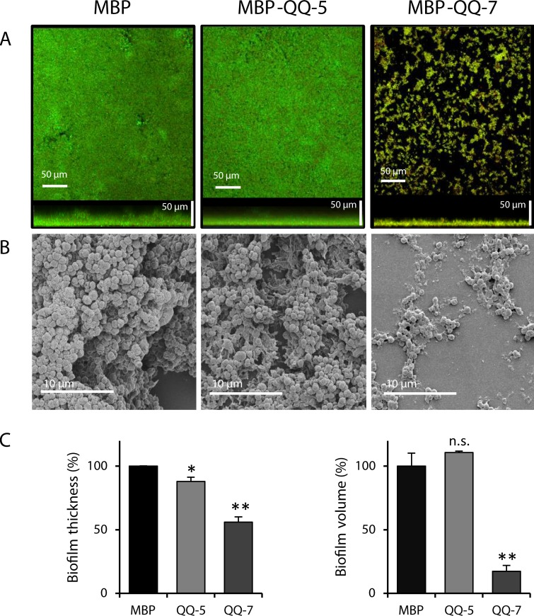 Decreased S . epidermidis biofilm formation on immobilized proteins MBP-QQ-5 and MBP-QQ-7. Coverslips coated with proteins MBP-QQ-5, MBP-QQ-7and MBP as control were used in flow chambers (total volume of 1.3 mL) for S . epidermidis biofilm formation (3 x 10 8 cells/ mL). After 1 h adhesion, flow chambers were incubated for 20 h (long-term experiment) with a flow rate of 20 mL/h using 3% TSB medium. Biofilms were stained with Syto9 and propidium iodide. Effects on biofilm formation were visualized using ( A ) CLSM and ( B ) SEM. ( C ) Biofilm characteristics thickness and volume were quantified using IMARIS software. Means of 2 independent biological replicates, each with 3 technical replicates are indicated. Unpaired t test was performed with GraphPad Prism 6 software with differences *p