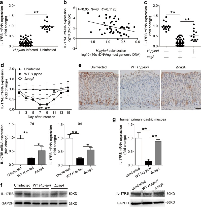 IL-17RB is decreased in gastric mucosa of H. pylori -infected patients and mice. a IL-17RB mRNA expression in gastric mucosa of H. pylori -infected ( n = 80) and uninfected donors ( n = 16) were compared. b The correlation between IL-17RB mRNA expression and H. pylori colonization in gastric mucosa of H. pylori -infected donors was analyzed. c IL-17RB mRNA expression in gastric mucosa of uninfected ( n = 16), cagA + H. pylori -infected ( n = 67), cagA − and H. pylori -infected ( n = 13) donors was compared. d Dynamic changes of IL-17RB mRNA expression and IL-17RB mRNA expression on day 7 or 9 p.i. in gastric mucosa of WT H. pylori -infected, Δ cagA -infected, and uninfected mice. n = 5 per group per time point in ( d ). e IL-17RB protein in gastric mucosa of WT H. pylori -infected, ΔcagA -infected, and uninfected mice on day 9 p.i. were analyzed by IHC. Scale bars: 100 μm. f IL-17RB protein in gastric mucosa of WT H. pylori -infected, ΔcagA -infected, and uninfected mice on day 9 p.i. were analyzed by Western blot. g IL-17RB mRNA expression or IL-17RB protein in WT H. pylori -infected, ΔcagA -infected, and uninfected isolated primary gastric mucosa tissues (MOI = 100, 24 h) from uninfected donors were compared ( n = 3) analyzed by real time PCR or Western blot. * P
