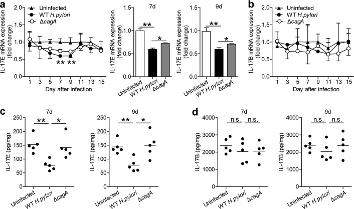 IL-17E, a ligand of IL-17RB, is decreased in gastric mucosa during the early-phase of H. pylori infection. a Dynamic change of IL-17E mRNA expression and IL-17E mRNA expression on day 7 or 9 p.i. in gastric mucosa of WT H. pylori -infected, ΔcagA -infected, and uninfected mice. n = 5 per group per time point in ( a ). b Dynamic change of IL-17B mRNA expression in gastric mucosa of WT H. pylori -infected, ΔcagA -infected, and uninfected mice. n = 5 per group per time point in b. ( c ) IL-17E protein concentration in gastric mucosa of WT H. pylori -infected, ΔcagA -infected, and uninfected mice on day 7 or 9 p.i. was compared. Each dot represents one mouse. d IL-17B protein concentration in gastric mucosa of WT H. pylori -infected, ΔcagA -infected, and uninfected mice on day 7 or 9 p.i. was compared. Each dot represents one mouse. * P