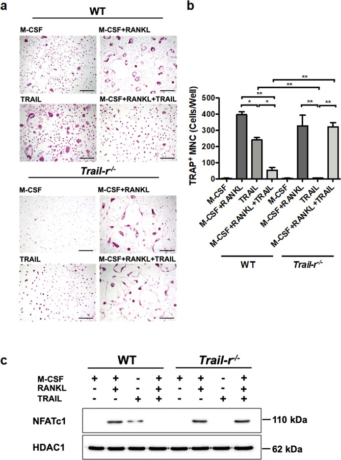 TRAIL inhibits RANKL-induced osteoclast differentiation and activation of <t>NFATc1.</t> a Bone marrow-derived macrophages (BMMs) from wild type (WT) and TRAIL-R knockout ( Trail-r −/− ) mice were plated in 96-well plates and stimulated with the RANKL (50 ng/ml) + M-CSF (20 ng/ml), TRAIL (500 ng/ml), or RANKL + M-CSF + TRAIL as indicated in the figure. After 10 days, cells were analyzed for osteoclast differentiation. After incubation, cells were subjected to a tartrate-resistant acid phosphatase (TRAP) assay. Cell morphology was examined by light microscopy (Scale bars, 100 µm), and the number of TRAP-positive multinuclear cells was quantified in ( b ). ** p