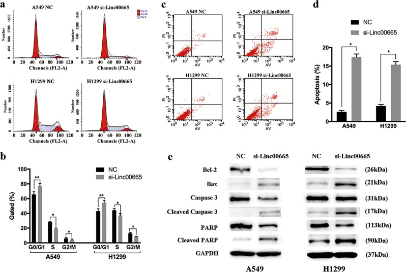 Knockdown of linc00665 promotes cell cycle arrest and induces cell apoptosis in vitro. a , b Flow cytometric analysis of cell cycle distributions in A549 and H1299 cells after transfection with linc00665 siRNA. c , d Flow cytometric analysis of apoptosis in A549 and H1299 cells after transfection. e Expression of Bcl-2, Bax, Caspase-3, PARP, and GAPDH protein in A549 and H1299 cells after transfection with linc00665 siRNA. NC negative control; * p