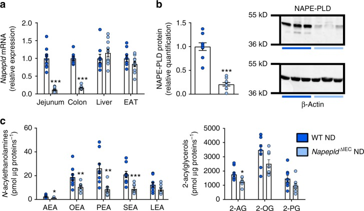 Validation of IEC Napepld deletion. a Napepld mRNA expression in the jejunum, colon, liver and epididymal adipose tissue (EAT) in ND-fed WT and Napepld ∆IEC mice ( n = 8–10). b NAPE-PLD protein levels in the colon. Representative western-blot of NAPE-PLD and β-Actin ( n = 9–10). c Levels of N -acylethanolamines and 2-acylglycerols in small intestinal epithelial cells of ND-fed WT and Napepld ∆IEC mice ( n = 7–9) were determined by using high-performance liquid chromatography-MS using an LTQ Orbitrap mass spectrometer as described in the methods. Dark blue: WT ND mice, light blue: Napepld ∆IEC ND mice. Data are presented as the mean ± s.e.m. *, ** and *** indicate a significant difference versus WT ND (Respectively P