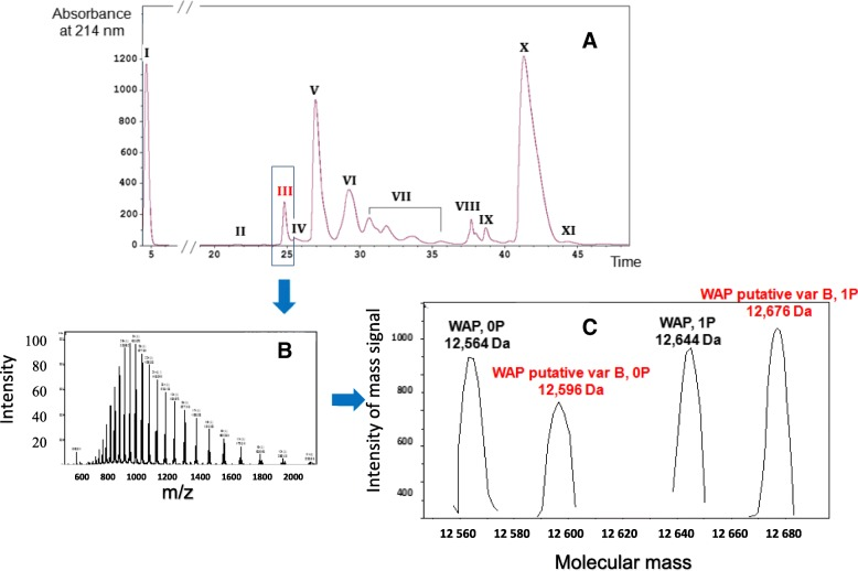 Milk protein profiling by <t>LC-ESI-MS</t> of a Bactrian camel milk from the Shymkent region. Eleven major milk protein fractions were identified from RP-HPLC profile ( 3.A ) in the following order: glycosylated κ-CN A and B (I), non-glycosylated κ-CN A and B (II), WAP (III), shorter (∆ex16 and 13′) + short (∆ex16) isoforms of α s1 -CN A and C (IV and V), α-LAC + α s1 -CN A and C + (VI), α s2 -CN* (VII), PGRP + α s2 -CN* (VIII), LPO/CSA (IX), β-CN A and B (X) and γ 2 -CN A and B (XI). Multicharged-ions spectrum from compounds contained in fraction III ( 3.B ). After deconvolution ( 3.C ) the spectrum shows the presence of cognate camel WAP A-0P (12,546 Da) and <t>1P</t> (12,644 Da) indicated in black, and molecular masses corresponding to a new WAP variant (named B) without (12,596 Da) and with (12,676 Da) one phosphate group, indicated in red. *Splicing variants of αs2-CN with different phosphorylation levels (Ryskaliyeva et al., submitted)