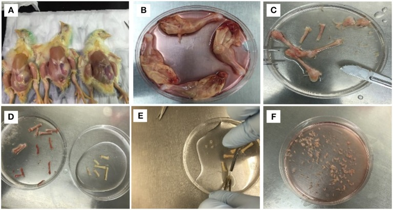 Isolation procedure of MSCs from compact bones of chick (cBMSCs). (A) Chicks were soaked in alcohol for leg dissections (B) and legs dissected and soaked in DMEM with 10% FBS. (C) Muscles were separated to obtain femur and tibia. (D) Epiphysis was dissected, and bone marrow was flushed with PBS containing 2% FBS. (E) After washing, the bones appeared white in color. (F) Bones were chopped in 1–3 mm 3 and digested in digestion media.