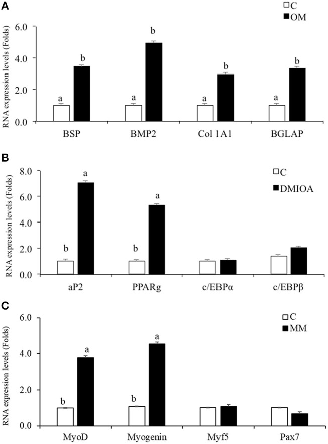 Comparative analysis of lineage differentiation specific gene expression in cBMSc. Relative gene expression of osteogenic, adipogenic, and myogenic markers were analyzed between induced cells and control cells (C) using qRT-PCR. (A) BSP, Collagen Type 1 Alpha 2 (Col 1A2), BMP2, and BGLAP mRNA expression were analyzed in cells treated with osteogenic media (OM) (containing DMEM with 10 −7 M dexamethasone (DXA), 10 mM β-glycerophosphate, 50 μg/ml ascorbate, and 5% FBS) and control media (C) for 72 h; (B) FABP2, PPARγ, c/EBPα, and c/EBPβ expression were analyzed in cells treated with adipogenic media (AM) (containing 500 nM dexamethasone, 0.5 μM 3-isobutyl-1-methylxanthine, and 20 mg/mL insulin and 300 μM OA) and control media (C) for 48 h (C) MyoD, Myogenin, Myf5, and Pax7 mRNA expression were analyzed in cells treated with myogenic media (MM) (containing DMEM, 5% horse serum, 50 μM hydrocortisone, and 0.1 μM dexamethasone) and control media (C) for 72 h. GAPDH was used as a housekeeping gene. Different letters (a,b) indicate significant difference at P