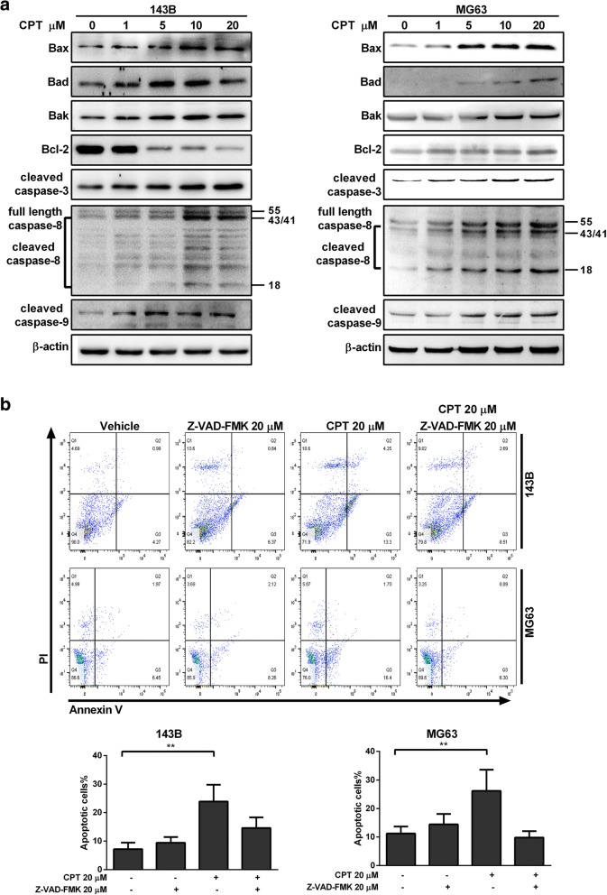 Caspase-3, − 8, and − 9 are involvement in CPT-induced OS cell apoptosis. a The expressions of apoptosis-related proteins were measured by western blotting in OS cells following 20 μM CPT treatment for 24 h. b OS cells were pretreated with Z-VAD-FMK (20 μM) for 1 h and incubated with 20 μM CPT for 24 h. Annexin V/PI analysis was used to detect apoptotic cells by flow cytometry followed by CPT treatment. The respective cell percentages in early and late apoptosis for different dose treatment are presented in the quantitative analysis. The results were expressed as the means ± SD from three independent experiments. ** P