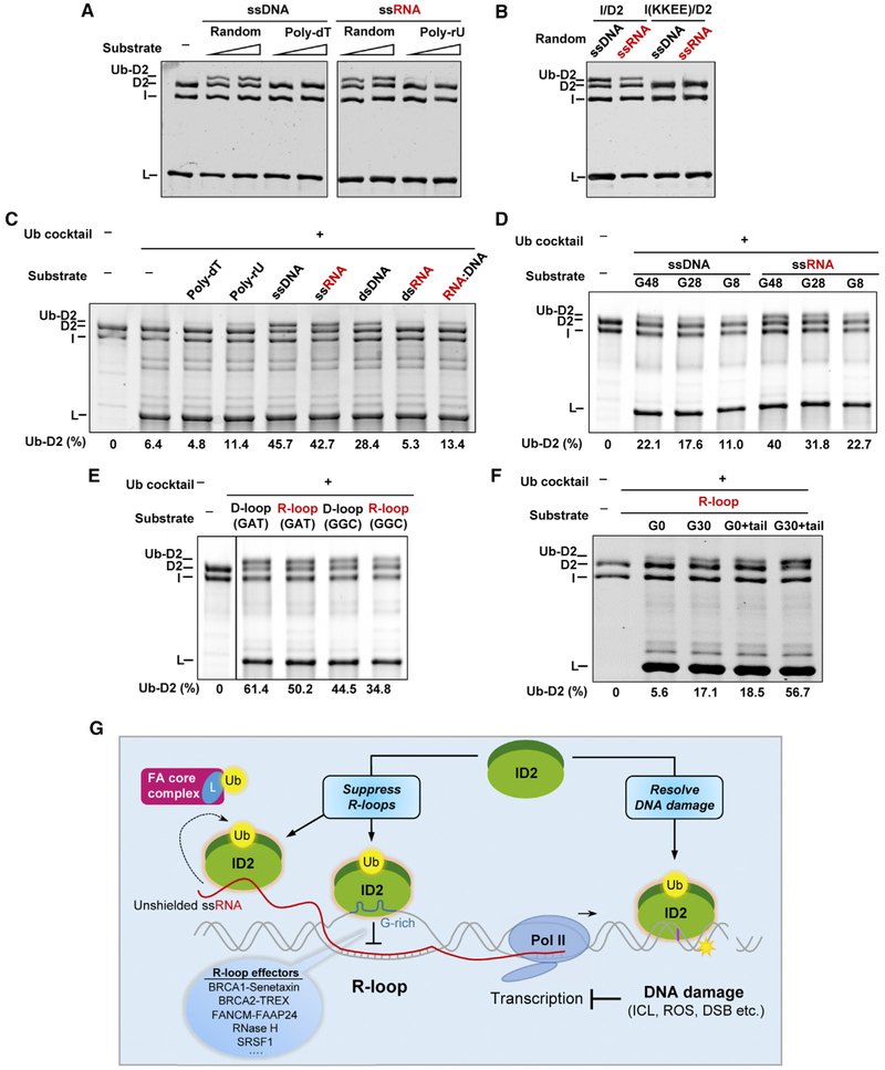 RNA and R-Loop Stimulate FANCD2 Monoubiquitination (A) In vitro ubiquitination reaction of recombinant ID2 with either ssDNA or ssRNA substrates. FANCD2 was ubiquitinated maximally in presence of random sequence of ssRNA or ssDNA and ubiquitination was abrogated by T or U-rich nucleic acids. (B) DNA and RNA binding mutant FANCI(KKEE)/D2 complex failed to be ubiquitinated. (C) Comparison of ID2 ubiquitination efficiency using various nucleic acids substrates with different binding affinity. ssRNA conferred the most ubiquitination. (D) Comparison of ID2 ubiquitination efficiency using nucleic acids substrates with different guanine content. Nucleic acid with the highest guanine content conferred the most ubiquitination. (E) Comparison of ID2 ubiquitination efficiency using two configurations of D-loops and R-loops. D- and R-loops with guanine-containing single-strand DNA (ssDNA) supported ID2 ubiquitination similarly. (F) Comparison of ID2 ubiquitination efficiency using different R-loop substrates. R-loops with guanine-containing ssDNA and ssRNA tail supported ID2 ubiquitination with the highest efficiency. For (C)–(F), percentage of ubiquitinated FANCD2 is calculated by the intensity of the Ub-D2 band over total intensity of the Ub-D2 and D2 bands. (G) Model of R-loop binding and its stimulated monoubiquitination of FANCI-FANCD2 in response to DNA damage-induced transcriptional perturbation.