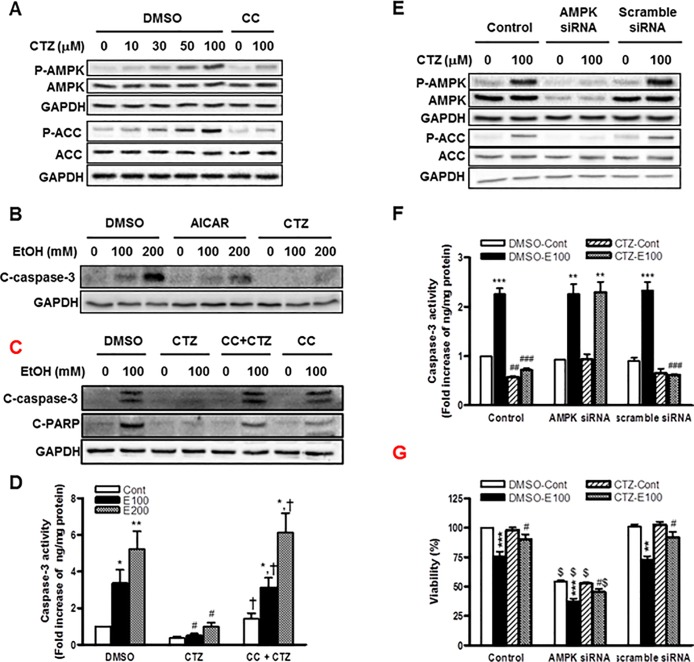 The role of AMPK in the effects of cilostazol on ethanol-induced apoptosis of hepatocytes. (A) Cells were treated with cilostazol (0 ~ 100 μM) in the presence or absence of compound C (10 μM) for 10 min. Phosphorylated- and total-AMPK and ACC were detected by Western blotting. (B—D) Cells were treated with ethanol (100 and 200 mM) in the presence of AICAR (100 μM), cilostazol (100 μM), compound C (10 μM) or compound C (10 μM) plus cilostazol (100 μM) for 24 h. Cleaved caspase-3 (C-caspase-3) or cleaved PARP (C-PARP) were detected by Western blotting (B, C). The caspase-3 activity was measured (D). (E) Cells were treated with AMPK siRNA or scramble siRNA for 48 h and then treated with cilostazol (100 μM) for 10 min. Phosphorylated- and total-AMPK and ACC were detected by Western blotting. (F, G) Cells were treated with AMPK siRNA or scramble siRNA for 24 h and then stimulated with ethanol (100 mM) in the presence or absence of cilostazol (100 μM) for 24 h. Caspase-3 activity (F) and cell viability (G) were measured. Representative microscopic images from three independent experiments were presented (magnification, x 400). The blots are representative of three independent experiments. Data represented as fold increases is mean±S.E.M. of three independent experiments. * P