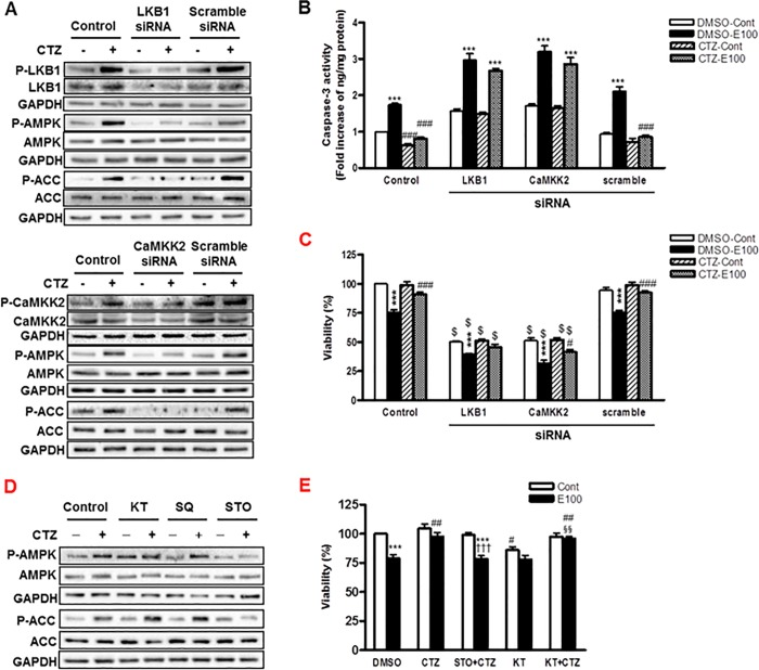 The regulation of AMPK by LKB1 and CaMKK2 in cilostazol treated hepatocytes. (A) Cells were treated with LKB1- and CaMKK2- siRNA or scramble siRNA for 48 h and then treated with cilostazol (100 μM) for 10 min. Phosphorylated- and total-LKB1, CaMKK2, AMPK and ACC were detected by Western blotting. (B, C) Cells were treated with LKB1- and CaMKK2- siRNA or scramble siRNA for 24 h and then stimulated with ethanol (100 mM) in the presence or absence of cilostazol (100 μM) for 24 h. Caspase-3 activity (B) and cell viability (C) were measured. (D) Cells were treated with cilostazol (100 μM) for 10 min in the presence or absence of KT5720 (1 μM), SQ22536 (400 μM) or STO-609 (5 μM). Phosphorylated- and total- AMPK and ACC were detected by Western blotting. (E) Cells were treated with ethanol (100 mM) in the presence or absence of cilostazol (100 μM), STO-609 (5 μM) or KT5720 (1 μM) for 24 h. Then, cell viability was measured by MTS assay. The blots are representative of three independent experiments. Data represented as fold increases is mean±S.E.M. of three independent experiments. *** P