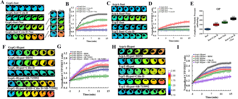 GFAP tension changes in U87 cells produced by suffering hypotonic pressure and the mechanism of action. (A) Representative images of normalized CFP/FRET ratios of GFAP tension subjected to isotonic treatment alone (row 1), with cytochalasin D (row 2,10 μM), nocodazole (row 3, 100 μM), or both agents (row 4). Cell volumes were determined at the initial and final times (right panel). (C) MF and MT tension after being subjected to isotonic treatment alone (row 1 and 3), MF with nocodazole (row 2) and MT with cytochalasin D (row 4). (F) GFAP tension in response to hypotonic stimuli alone (row 1), with 2,3-Butanedione monoxime (row 2, 10 mM), ciliobrevin D (row 3, 20 μM), SB-715992 (row 4, 1 μM), or both agents (row 5). (H) MF and MT tension in response to hypertonic stimulation alone (row 1 and 3), MF with 2,3-Butanedione monoxime (row 2), MT with Cilio D (row 4) or MT with SB-715992 (row 5). (B, D, G, and I) Mean values of normalized CFP/FRET ratios in GFAP (2 A and 2 F), MF and MT (2 C and 2 H) under isotonic or hypo-osmotic pressure responses to different reagents. The dark-blue calibration bar indicates the smallest tension (0.10), whereas red indicates the largest tension (2.85). (E) The osmotic pressure of cytoplasm in U87 cells in response to isosmotic pressure and with cytochalasin D, nocodazole, or both agents. Average of ≥ 5 experiments ± SEM. * **p
