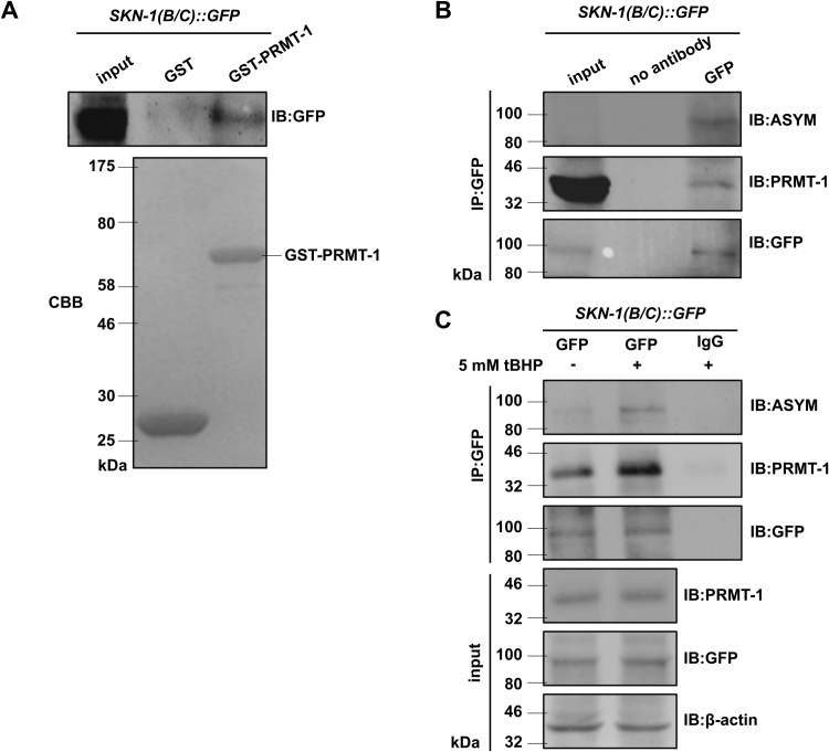 Oxidative stress enhances binding of PRMT-1 to SKN-1, and elevates asymmetrical dimethylation of arginines on SKN-1. (A) GST-PRMT-1 bound to SKN-1 proteins expressed in wild-type worms. GST pull-down assay was performed by immunoprecipitation with GST-PRMT-1 protein from the whole extracts of N2[SKN-1B/C::GFP] worms, followed by immunoblotting with anti-GFP antibody. The arrow on the right indicated the band of GST-PRMT-1 purifed from E. coli BL21. GST protein was as the negative control. Coomassie brilliant blue (CBB) staining (lower) was used as a loading control. (B) SKN-1 interacted with PRMT-1 and was asymmetrically dimethylated on arginines in vivo . co-IP was operated by utilizing the whole extracts of N2[SKN-1B/C::GFP] worms with anti-GFP antibody, followed by immunoblotting with anti-PRMT-1 and anti-ASYM antibody. No antibody was used as the negative control. (C) Oxidative stress increased the binding of PRMT-1 to SKN-1, and elevated asymmetrical dimethylation of arginines on SKN-1. N2[SKN-1B/C::GFP] worms were treated with (or without) 5 mM tBHP, followed by co-IP as the legend to B. β-actin and GFP were utilized as internal references. IgG was used as the negative control.