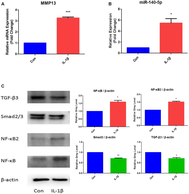 Expression analysis of MMP13, miR-140-5p, NF-κB, NF-κB2, Smad3, and TGF-β3 in IL-1β-stimulated MCCs. (A) Assessment of MMP13 mRNA relative expression by <t>qRT-PCR,</t> (B) Assessment of miR-140-5p relative gene expression by qRT-PCR, and (C) Evaluation of NF-κB, NF-κB2, Smad3, TGF-β3 protein expression. β-actin and small nuclear RNA U6 were used as controls. Each group repeated three times ( n = 3). Control group (Con) were without IL-1β stimulation. ∗ P