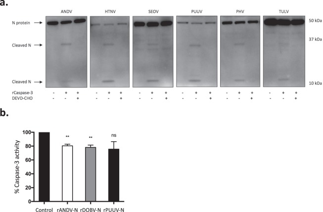 Orthohantaviruses N protein contains cleavage sites for caspase-3 and weakly inhibits caspase-3 activity. ( a ) Western blot analyses showing two cleaved fragments of the different orthohantavirus N protein after incubation with or without recombinant caspase-3 in the presence or absence of the caspase-3-inhibitor Ac-DEVD-CHO. The monoclonal antibody 7A2/D5 was used in order to detect the cleaved fragments of N protein. One representative experiment out of three is shown. ( b ) Caspase-3 activity after incubation with recombinant ANDV, PUUV or DOBV N protein (rANDV-N, rPUUV-N or rDOBV-N), or with recombinant control protein (DHFR). Data shown represent mean ± SD of three independent experiments. Paired t-test: ns non-significant; *p