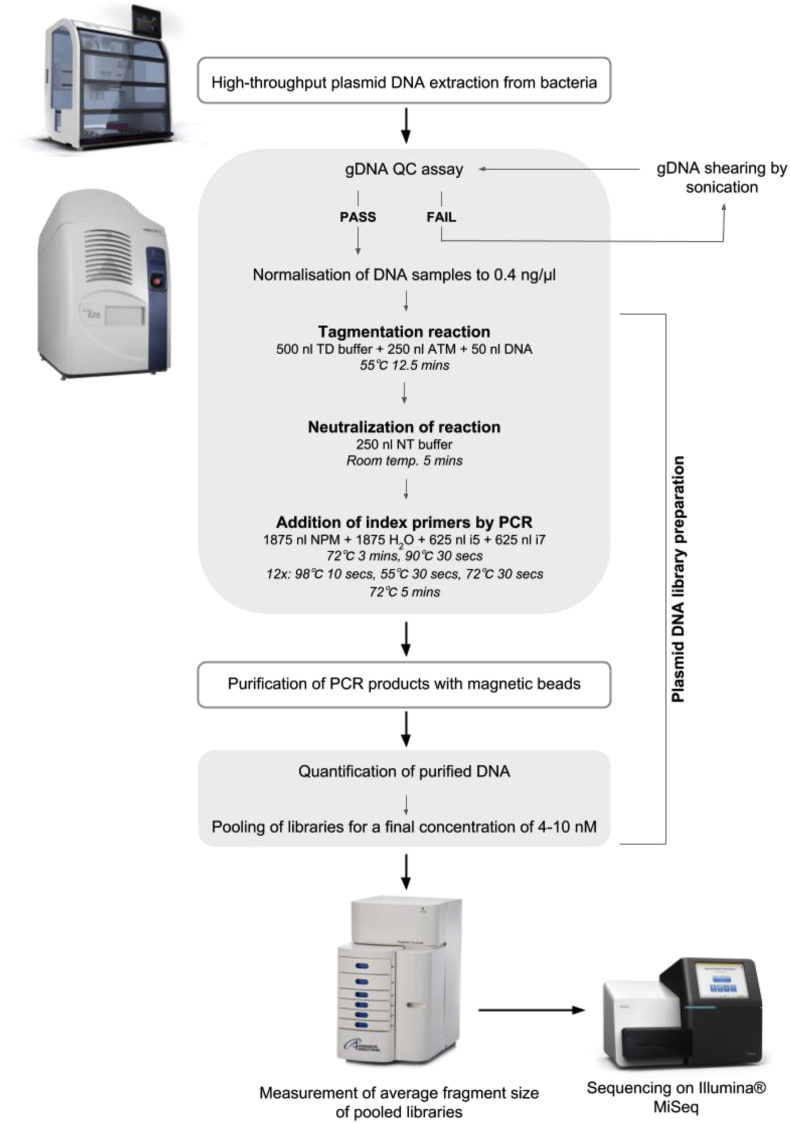 High-throughput workflow for the preparation of plasmid DNA libraries for NGS. Plasmid DNA samples are isolated from bacteria cells using a high-throughput plasmid isolation method on the CyBio ® FeliX robot. All steps performed using the FeliX platform are highlighted with a grey outline. The isolated plasmid samples are tested for the presence of genomic DNA (gDNA), prior to library preparation, using the Labcyte Echo ® . All steps performed using the Labcyte Echo ® are highlighted with a shaded grey box. If samples are free from gDNA, they are diluted to 0.4 ng/μl in H 2 O. If gDNA is detected, the samples are sonicated prior to re-testing in the gDNA QC assay. Using reagents from the Nextera XT kit, a tagmentation reaction is performed on all samples under the optimised conditions, followed by neutralization of the reaction. Unique combinations of index primers are added to all samples via 12 PCR cycles, followed by magnetic bead purification of the PCR products. The concentration of the purified dsDNA is then determined using the PicoGreen ® reagent assay and the libraries are pooled to give a final concentration of 4–10 nM, in a minimum volume of 15 μl. The average fragment size of the pooled libraries is measured using the Fragment Analyzer before being sequenced on the Illumina ® MiSeq system.