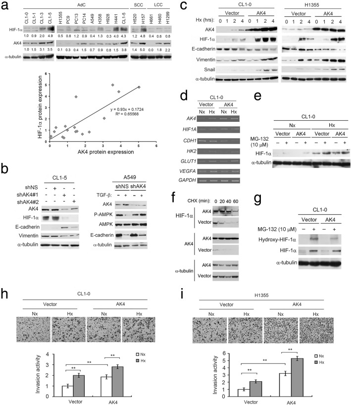 AK4 stabilizes and exaggerates HIF-1α protein expression to promote EMT. a Upper, endogenous AK4 and HIF-1α protein expression in human NSCLC cell lines. Bottom, correlation between AK4 and HIF-1α protein expression in NSCLC cell lines. b Left, WB analysis of AK4, HIF-1α, E-cadherin, and vimentin upon AK4 knockdown in CL1-5 cells. Right, WB analysis of AK4, AMPK, phospho-AMPK (Thr172), and E-cadherin upon AK4 knockdown in A549 cells treated with or without TGF-β (5 ng/mL) for 24 h. c WB analysis of HIF-1α, AK4, E-cadherin, vimentin, and Snail in CL1-0 and H1355 vector- or AK4-overexpressing cells exposed to hypoxia for the indicated time. d RT-PCR analysis of AK4 , HIF1A , CDH1 , HK2 , GLUT1 , VEGFA , and GAPDH in CL1-0 vector- or AK4-expressing cells under normoxic and hypoxic conditions. e WB analysis of HIF-1α from CL1-0 vector- or AK4-expressing cells treated with the proteasome inhibitor MG-132 under Nx and Hx conditions. f WB analysis of HIF-1α and AK4 from CL1-0 vector- or AK4-expressing cells treated with CHX for 20, 40, and 60 min. g WB analysis of HIF-1α and hydroxylated HIF-1α from CL1-0 vector or AK4-expressing cells treated with MG-132 under Nx. h Invasion assay of CL1-0 vector- or AK4-expressing cells under normoxia (Nx) or hypoxia (Hx). ** P ≤ 0.01. i Invasion assay of H1355 vector- or AK4-expressing cells under Nx or Hx. ** P ≤ 0.01. The results are presented as the mean ± SD of at least three separate experiments. Two-tailed, unpaired Student's t tests were used for all pairwise comparisons. ** P ≤ 0.01