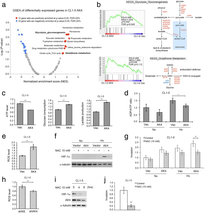 AK4 shifts metabolism toward aerobic glycolysis and increases oxidative stress. a Global GSEA statistics of differentially expressed genes in AK4-overexpressing CL1-0 cells compared with vector-expressing CL1-0 cells. b GSEA plots and KEGG metabolic pathways of Glycolysis_Gluconeogenesis and Glutathione_Metabolism pathways between CL1-0 AK4 cells and CL1-0 Vec cells. c Relative ATP levels, glucose consumption, and lactate production upon AK4 overexpression in CL1-0 cells. ** P ≤ 0.01 d Relative ADP/ATP ratio upon AK4 overexpression in CL1-0 cells under Nx or Hx. * P ≤ 0.05 e Intracellular ROS level of vector-expressing CL1-0 cells and AK4-expressing CL1-0 cells; the ROS level was normalized to vector-expressing CL1-0 cells. ** P ≤ 0.01. f WB analysis of HIF-1α in CL1-0 vector- and AK4-expressing cells treated with or without 10 mM NAC under Nx or Hx. g Invasion assay of CL1-0 vector- or AK4-expressing cells treated with 10 mM NAC under Nx or Hx. h Intracellular ROS level of shNS-expressing CL1-5 cells and shAK4-expressing CL1-5 cells. The ROS level was normalized to shNS-expressing CL1-5 cells. ** P ≤ 0.01. i Time course analysis of HIF-1α and AK4 protein expression in CL1-5 cells treated with 10 mM NAC for the indicated time. j Invasion assay of CL1-5 cells treated with or without 10 mM NAC. The results are presented as the mean ± SD of at least three separate experiments. Two-tailed, unpaired Student's t tests were used for all pairwise comparisons. * P ≤ 0.05; ** P ≤ 0.01