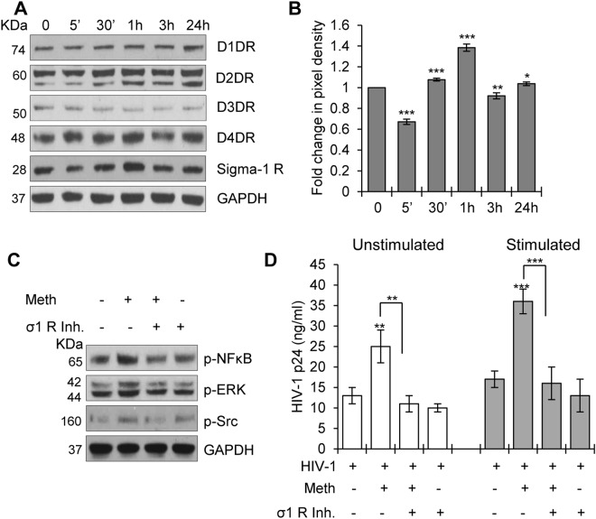 Effects of Meth on dopamine receptors and sigma-1 receptor in CD4 + T-cells. ( A ) CD4 + T-cells were untreated or treated with 100 µM Meth for different time points (5 mins-24 hours), lysed and the protein extracts were analyzed for the expression of various dopamine receptors and sigma-1 receptor. GAPDH used as a loading control. Full-length blots are presented in Supplementary Fig. S3 . ( B ) Fold change in the pixel density of sigma-1 receptor expression in ( A ). All values normalized to untreated sample. (*p ≤ 0.05, **p ≤ 0.01, ***p ≤ 0.001). ( C ) CD4 + T-cells were untreated or treated with 10 µM sigma-1 receptor inhibitor (σ1 R inh.) for 1 hour, then treated with or without 100 µM Meth for 1 hour, followed by lysis and analysis of protein extracts for the indicated activated signaling molecules by Western blotting. GAPDH used as a loading control. Full-length blots are presented in Supplementary Fig. S3 . ( D ) HIV-1 p24 titer on day 3 after HIV-1 infection in unstimulated and stimulated CD4 + T-cells pretreated with or without sigma-1 receptor inhibitor (σ1 R inh.) and treated in the presence or absence of Meth. Data represent the mean ± SD of 3 independent experiments (**p ≤ 0.01, ***p ≤ 0.001).
