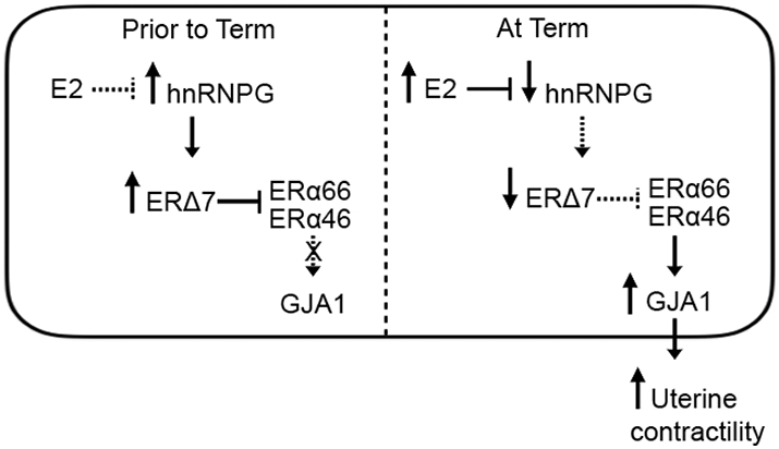 Hypothetical model of ERΔ7 regulation of GJAI in preterm and term labor. During pregnancy, lower E2 levels are permissive for relatively high expression of hnRNPG, which in turn results in increased ERΔ7 isoform generation by promoting exon 7 exclusion. High levels of ERΔ7 block the action of ERα66/ERα46 resulting in down-regulation of GJA1 and maintaining quiescence. Near term increasing levels of circulating E2 result in down-regulation of hnRNPG that manifest in a decline in ERΔ7 levels thus removing the barrier to ERα66/ERα46 transcriptional activity. This results in an upregulation of GJA1 expression leading to increased uterine contractility and labor.