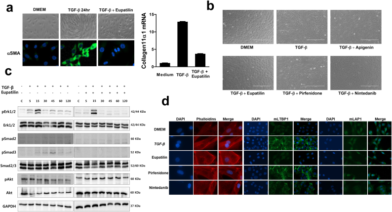 Eupatilin inhibits TGF-β–mediated cellular response by dismantling latent TGF-β complex, depolymerizing actin, and modulating Smad3. (a) ONGHEPA1 cells were stimulated with TGF-β (5 ng/ml) or TGF-β plus eupatilin (50 μM) for 24 h, and morphological changes were monitored under a light microscope. ICC was performed using anti-mouse αSMA antibody. Total RNAs were isolated from ONGHEPA1 cells stimulated with medium, TGF-β, or TGF-β plus eupatilin for 48 h, and then subjected to real-time PCR analysis using primers against Col11a1 . (b) ONGHEPA1 cells were grown and stimulated with medium, apigenin, eupatilin, pirfenidone, or nintedanib in the presence or absence of TGF-β for 24 h, and then anti-fibrogenic activity was monitored. (c) Kinetics of eupatilin-induced Erk, Smad2, Smad3, and Akt phosphorylation in the presence of TGF-β. Western blot analyses of pErk1/2, pSmad2, pSmad3, and pAkt levels were performed in whole-cell lysates (30 μg) of ONGHEPA1 cells incubated with TGF-β or TGF-β and eupatilin for 0, 5, 15, 30, 45, 60, and 120 min. (d) Actin depolymerization and latent TGF-β complex–associated protein expression in eupatilin, pirfenidone, and nintedanib-treated ONGHEPA1 cells in the presence of TGF-β. ONGHEPA1 cells stained for F-actin (phalloidin, red), mLTBP (green), mLAP1 (green), and DAPI (nuclei, blue). Only eupatilin was able to depolymerize actin.