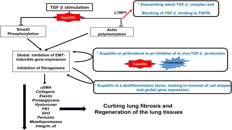 Proposed MOAs of eupatilin, leading to anti-fibrotic capacity. Eupatilin directly acts on pathogenic myofibroblasts and inhibits fibrosis. Eupatilin rapidly depolymerizes actin stress fibers to which latent TGF-β complex is anchored. Under pathologic circumstances, the TGF-β cargo proteome, consisting of a heterodimeric integrin (mainly integrin avβ3 ) loaded with RGD, LAP1, and LTBP1, carry on the processed and active TGF-β and is relayed to TGFR. LTBP1 is secreted into the ECM. Upon actin depolymerization, latent TGF-β complex is dismantled, leaving active TGF-β at the cargo proteome and nullifying its binding to TGFR1. By dephosphorylation of Smad3 induction of EMT master regulators such as Snail2 may not be made possible. Eupatilin causes myofibroblasts to revert to HSC-like intermediate cell types. Whether actin depolymerization is responsible for this dedifferentiation remains to be scrutinized. Finally, eupatilin, like pirfenidone, inhibits in vivo TGF-β production.