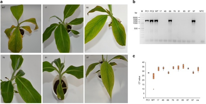 Evaluation of genome-edited and wild type non-edited control plants of Gonja Manjaya for induction of BSV symptoms under water stress conditions. Two-month-old plants were subjected to water stress for 2 weeks. Disease symptoms as chlorosis or yellow streaks were recorded at the end of the stress period and pictures were taken. a Pictures of asymptomatic genome-edited plants (17, 76, and 81), symptomatic-edited plants (66 and 97), and wild type control plants (WT). b PCR diagnostic to detect activation of episomal BSOLV in genome edited and control plants under water stress conditions. c qPCR analysis to detect episomal BSOLV in genome edited and control plants under water stress conditions. PC1‒2, symptomatic plant of Agbagba from field as positive control; WT, wild type non-edited control Gonja Manjaya plant under stress conditions; 17, 66, 76, 81, 97, edited plants under stress conditions; CW, asymptomatic in vitro plantlet of Cavendish Williams as negative control; NTC no template control. For PCR and qPCR, leaf samples from three symptomatic wild type non-edited control plants (WT) of Gonja Manjaya were pooled for DNA extraction. Similarly, the leaves from three replicates for symptomatic and asymptomatic-edited events were pooled for PCR and qPCR. CT values were presented as means and standard error of six technical replicates from two independent experiments