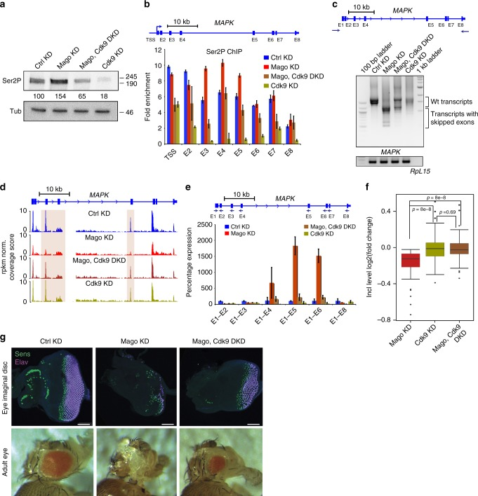 Restoring pausing is sufficient to rescue Mago-associated exon skipping defects. a Mago knockdown results in elevated level of Ser2P phosphorylation of Pol II. Western blots using antibodies against Pol II Ser2P and Tubulin, using S2R+ cell extracts with indicated knockdowns. Signal in the knockdown conditions was normalized to the control condition using Tubulin as loading control and quantification of the intensity was performed with ImageJ. b ChIP-qPCR analysis of Ser2P occupancy level at MAPK locus in the indicated knockdowns. The primers used for the analysis are indicated in the scheme above. Bars indicate the 95% confidence interval from the mean of two biological replicates. c Agarose gels showing RT-PCR products for MAPK and RpL15 using RNA extracted from S2R+ cells with indicated knockdowns as template for cDNA synthesis. The primers used for the PCR 5ʹ and 3ʹ UTR of MAPK are shown in the scheme above. RT-PCR products for RpL15 from respective knockdown condition were used as loading control. d Replicate averaged RNA-Seq track examples of MAPK in several knockdown conditions. Mago KD results in several exon skipping events, which are rescued upon simultaneous knockdown of Cdk9. The exons skipped in Mago knockdown condition are highlighted by colored rectangles e Quantitative RT-PCR using RNA extracts derived from S2R+ cells with the indicated knockdowns. The amplicons were obtained using the same 5ʹ forward primer (E1) together with the reverse primers on respective exons, as shown in the scheme above. The level of exon skipping is compared to the control treatment, with RpL49 used for normalization. Bars indicate the 95% confidence interval from the mean of two biological replicates. f Box plots showing the log2 fold change in inclusion level of alternatively spliced exons in the indicated knockdowns (rMATS was used for the analysis). g Upper panel: Staining of eye imaginal discs from third instar larvae with indicated dsRNAs specifically expressed in the