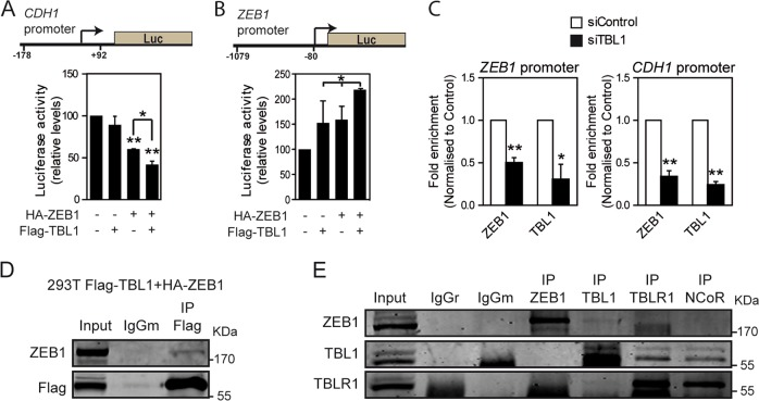TBL1 and ZEB1 interact and cooperate for regulation of the CDH1 and ZEB1 promoters. a Reporter assay showing repression of the CDH1 promoter by Flag-TBL1 and HA-ZEB1 in NMuMG cells. b Reporter assay showing activation of the ZEB1 promoter by Flag-TBL1 and HA-ZEB1 in HEK293T cells. c TBL1 and ZEB1 bind to the CDH1 and ZEB1 promoters. HMEC-RAS-ZEB1 cells transfected with control siRNAs (siControl) or siRNAs against TBL1 (siTBL1) were subjected to chromatin immunoprecipitation assays with the indicated antibodies. Fold enrichment indicate occupancies relative to siControl. a – c Values are the average of n = 6 data from three independent experiments ± SD. * P