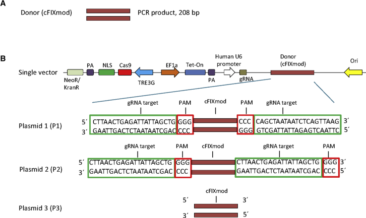 Design of Donor DNA Sequences for the Two-Vector and the Single-Vector Systems (A) Donor DNA used for the two-vector system. A PCR product of 208 bp (cFIXmod) covering the mutated cFIX location was used. (B) Schematic diagram of single vectors containing the Tet-on-inducible CRISPR/Cas9 for cutting the cFIX-mutated strand and the donor DNA. Three molecular setups of single vectors, which delivered all components for HDR, were designed: plasmid 1 (P1), plasmid 2 (P2), and plasmid 3 (P3). For P1 and P2, the donor is flanked by the gRNA recognition sequence. Note that the gRNA recognition sequences in P1 are in the opposite orientation while the gRNA recognition sequences of P2 flank the donor DNA in the identical orientation. The donor contained in plasmid P3 lacks the gRNA recognition sequence. NLS, nuclear localization signal; PA, polyadenylation signal; TREG3, TRE3G promoter; EF1a, human elongation factor-1 alpha promoter; gRNA, guide RNA; Tet-on, tetracycline-controlled transcriptional activator.