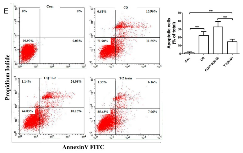 Interactions of the autophagic and apoptotic effects of L02 cells induced by T-2 toxin. ( A ) Effect of RAPA on autophagy caused by T-2 toxin. L02 cells were pre-exposed to the autophagy stimulator RAPA (100 nM) for 24 h, and then co-treated with T-2 toxin (5 nM) for an additional 12 h. The levels of p62 and Beclin 1 proteins and the LC3-II/LC3-I ratio were analyzed by Western blotting (WB). ( B ) Effect of RAPA on apoptosis caused by T-2 toxin. L02 cells were pretreated with the autophagy stimulator RAPA (100 nM) for 24 h, and then co-treated with T-2 toxin (5 nM) for an additional 12 h. The levels of the apoptosis-related proteins of PARP-1 and caspase-3 as well as the <t>Bax/Bcl-2</t> ratio were analyzed by Western blotting (WB). ( C ) Effect of the autophagy inhibitor CQ on autophagy- and apoptosis-associated proteins in L02 cells exposed to T-2 toxin. L02 cells were pretreated with the autophagy inhibitor CQ (100 μM) for 1 h, and exposure to the inhibitor was continued during subsequent T-2 toxin (5 nM) treatment for 6 h. The LC3-II/LC3-I ratio, Beclin 1 level, and caspase-3 proteins were analyzed by Western blotting. ( D ) Effect of CQ on T-2 toxin-induced apoptosis. L02 cells were pretreated with the autophagy inhibitor CQ (100 μM) for 1 h, and then co-treated with T-2 toxin (5 nM) for an additional 6 h. Western blotting was used for the analysis of caspase-3 proteins. ( E ) The autophagic rate caused by T-2 toxin was greatly enhanced upon the inhibition of autophagy. The L02 cells were treated as described in ( D ) and cell apoptosis was detected using flow cytometry. Results are the mean ± SD, n = 3. ** represents p