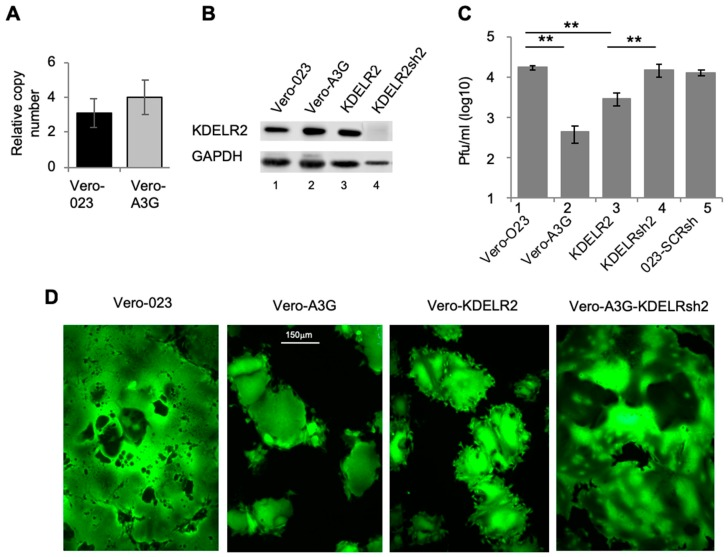 The A3G upregulated gene KDELR2 reduces MV replication in Vero cells. ( A ) Total RNA from Vero 023 and Vero A3G was isolated and reverse transcribed into cDNA. KDELR2-specific cDNA was then amplified using SYBR-Green Real-Time qPCR ( n = 3). ( B ) The protein expression of KDELR2 was analyzed using Western blot. Equal amounts of cell lysates were separated on 12% SDS-PAGE and transferred on a nitrocellulose (NC) membrane. Target proteins were probed with primary KDELR2 antibody and HRP conjugated secondary antibody then developed using ECL (lane 1: Vero 023, lane 2: Vero A3G, lane 3: Vero KDELR2, lane 4: Vero A3G + KDELR2shRNA). ( C ) Transduced Vero cells were infected with MV eGFP at MOI of 0.1. The titer of newly synthesized virus in these cells was determined 48 h post infection on Vero cells ( n = 3). Significance was calculated using the Student's t test (** p