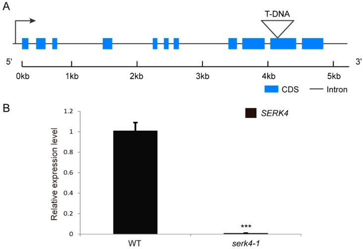 Expression of SERK4 in the T-DNA insertion line: ( A ) the exon/intron structure of the SERK4 gene and location of the T-DNA insertion; ( B ) the expression level of SERK4 revealed by qRT-PCR in LS leaves of wildtype and the T-DNA insertion line, the ratios of SERK4 gene expression level were calculated relative to the wildtype leaf. CDS, coding sequence; WT, wildtype. The expression data are means ± SD of three biological repeats. *** p