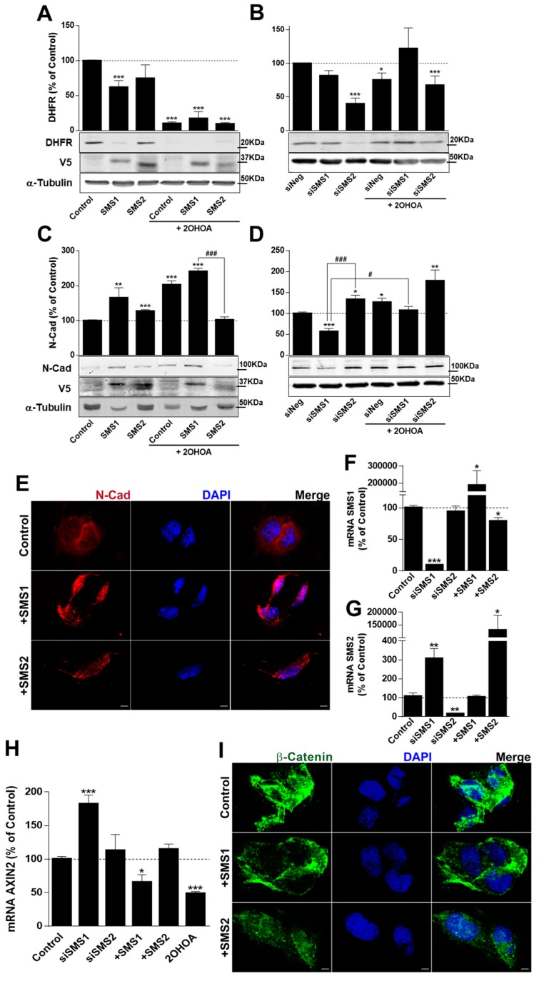 SMSs overexpression and 2OHOA effect on Proliferation and Differentiation in U118 cells. <t>DHFR</t> levels were determined by immunoblotting in U118 cells ( A ) overexpressing SMS1 or SMS2 (Tet-On Inducible Espression System) 72 h after doxycycline administration (1 µg/mL to induce overexpression), exposure to 2OHOA (200 µM) or both, or ( B ) transiently transfected with siRNA against SMS1 or SMS2 for 48 h, after exposure to 2OHOA (200 µM) for 24 h or both. N-Cad levels were determined by immunoblotting in U118 cells ( C ) overexpressing SMS1 or SMS2 (Tet-On Inducible Espression System) 72 h after doxycycline administration (1 µg/mL to induce overexpression), exposure to 2OHOA (200 µM) or both, or ( D ) transiently transfected with siRNA against SMS1 or SMS2 for 48 h, after exposure to 2OHOA (200 µM) for 24 h or both. The values in every lane were normalized to tubulin content and normalized values in treated cells were referred to those of control (untreated and not overexpressing) cells. SMS1 and SMS2 overexpression was measured using an anti-V5 antibody, and the downregulation after siRNA treatment was measured by RTqPCR ( F , G ). ( E ) <t>N-Cadherin</t> immunofluorescence (red, confocal microscopy) in U118 cells overexpressing SMS1 or SMS2 for 72 h. SMS1 ( F ) and SMS2 ( G ) mRNA level after 48-h treatment with a non-specific siRNA (Control), siRNA against the SMSs (siSMS1 and siSMS2) for 48 h, and SMSs overexpression (SMS1 and SMS2) for 72 h. ( H ) AXIN2 expression in U118 cells incubated with siSMS1 or siSMS2 for 48 h, overexpressing SMS1 or SMS2 (+SMS1/2), or treated with 2OHOA for 72 h, with respect to untreated cells (Control, 100%). ( I ) β-Catenin immunofluorescence (green) in U118 cells overexpressing SMS1 or SMS2 for 72 h. Nuclei were labeled with DAPI. Representative micrographies (single confocal planes) are shown. Scale bar, 5 µm. All bars represent mean ± s.e.m. values from 2–8 independent experiments; The differences were analyzed using a Student