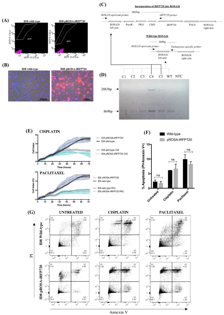 iRFP720 fluorescence and characterisation of pROSA-iRFP720-expressing ID8 cells. ( A ) Fluorescence-activated cell sorting (FACS) enrichment of iRFP720-expressing ID8 cells. iRFP720-positive single cells ([R]730/45 vs. [R]670/30) were sorted into a 96-well plate using the <t>FACSAria</t> Fusion cell sorter (BD Biosciences, San Jose, CA, USA), and single clones were expanded and screened. ( B ) iRFP720 fluorescence was observed using the Cytation 3 imaging Multi-Mode Reader equipped with a Cy5.5 filterset (BioTek Instruments Inc., Winooski, VT, USA). Hoechst 33342 was used to visualise the nucleus (377 ex /447 em ). ( C ) Schematic diagram representing the genomic screening strategy used for identifying iRFP720 incorporation into the ROSA26 locus. ( D ) Genomic DNA isolated from pROSA-puro-iRFP720-transfected single-cell ID8 clones was PCR-amplified using a ROSA26 upstream F primer, an endogenous ROSA26 -specific R primer and an iRFP720-specific R primer, and PCR products were separated with a 1.2% agarose gel. Wild-type ROSA26 gives an 869bp product and successful iRFP720 incorporation gives a 2883bp product. C1–5: clones 1–5; WT: wild-type ID8; NTC: no-template control. ( E ) Proliferation was assessed by electrode impedance using xCELLigence real-time cell analysis. Cells (8 × 10 3 /well) were treated with cisplatin (10 µg/mL) or paclitaxel (20 nM) after 8 h, and proliferation was analysed for further 64 h. ( F ) Wild-type and pROSA-iRFP720 ID8 (3 × 10 5 cells/well) were cultured for 24 h, and then incubated for further 24 h in the presence of cisplatin (10 µg/mL) or paclitaxel (20 nM). Apoptosis was determined by Alexa Fluor®647 annexin V and PI staining on the BD LSRFortessa X-20 (BD Biosciences) flow cytometer. ( G ) Representative images of the apoptosis analysis. Data are presented as mean ± SD, n = 3.