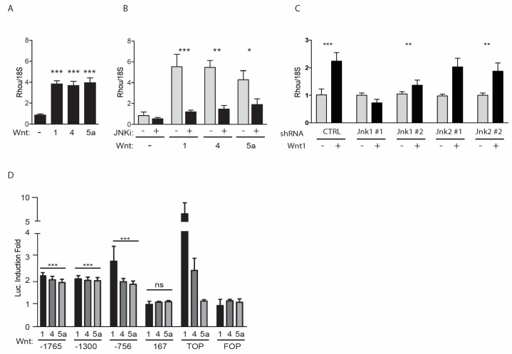 RhoU (Ras Homolog Family Member U) is a common Wingless-type MMTV Integration site (WNT) transcriptional target through the non-canonical c-JUN N-terminal kinase (JNK)-dependent pathway. ( A – C ) RhoU mRNA was measured by qRT-PCR in MEF cells co-cultured for 24 h with HEK-293 cells expressing or not the indicated WNTs ( A ), in the presence or absence of the JNK-inhibitor SP600125 (JNKi, B ), or upon knockdown of JNK 1 or JNK 2 by means of 2 independent shRNAs/each ( C ). Data are mean ± SEM of the relative expression levels, normalized to the 18S rRNA. n = 3. ( D ) RhoU promoter activity in mouse embryonic fibroblasts (MEF) cells transiently co-transfected with the indicated reporter constructs and a Secreted Embryonic Alkaline Phosphatase (SEAP)-expressing vector for normalization. TOPflash (TOP) and FOPflash (FOP) were used as positive and negative controls, respectively, for the β-catenin-dependent pathway. Transfected cells were stimulated or not with WNT ligands as described above. Data are mean ± SEM of the luciferase induction fold, relative to unstimulated condition. All WNT ligands significantly induced the activity of the −1765, −1300 and −756 RhoU promoter constructs ( p